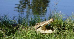 Alligators in Zapata Peninsula