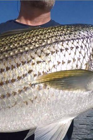 striper_fish