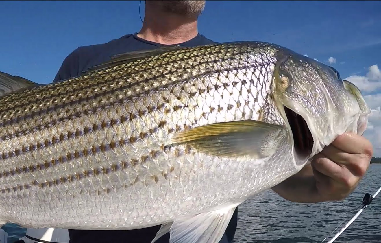 Striper fish fishing gear and techniques for Striped bass fishing tips