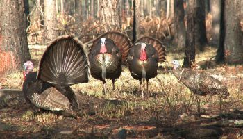 turkey_hunting